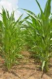 Lignes de maïs image stock