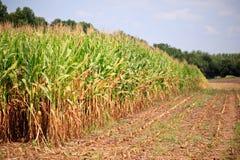 Lignes de maïs prêtes pour la moisson Photos stock