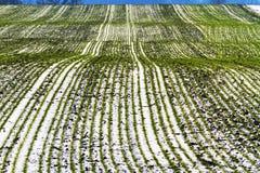 Lignes de niveau de blé qui se prolongent à l'horizon Photographie stock libre de droits