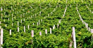 Lignes de vigne Images libres de droits