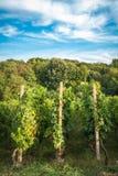 Lignes de vigne Photos libres de droits