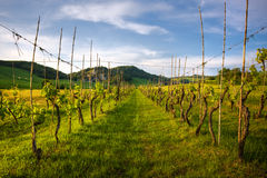 Lignes de vigne dans le cordon de la Toscane Photographie stock libre de droits