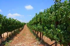 Lignes de vignes dans un vignoble photos libres de droits