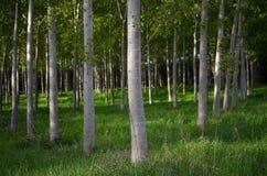 Lignes des arbres de peuplier Photographie stock libre de droits