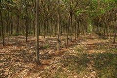 Lignes des arbres en caoutchouc Photos libres de droits