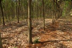 Lignes des arbres en caoutchouc Photographie stock