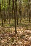 Lignes des arbres en caoutchouc Photo libre de droits