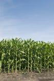 Lignes des centrales de maïs Photo libre de droits