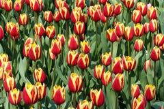Lignes des fleurs en Hollande Images libres de droits