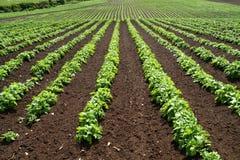 Lignes des légumes verts. images libres de droits