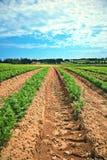 Lignes des légumes verts dans une ferme Image libre de droits
