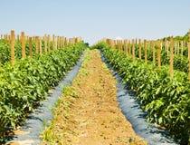 Lignes des plantes de tomate à une ferme Images stock