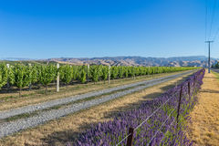 Lignes des raisins et de lavande au coucher du soleil Photos libres de droits
