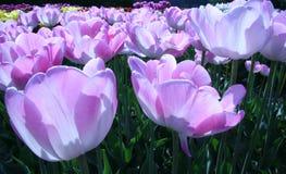 Lignes des tulipes pourprées contre éclairées par le soleil Image libre de droits