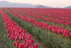 Lignes des tulipes rouges Image stock