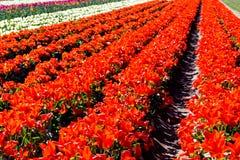 Lignes des tulipes rouges Images stock