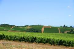 Lignes des vignes Photo stock