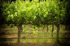 Lignes des vignes Images stock