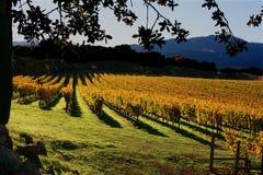 Lignes des vignes en automne Photographie stock libre de droits