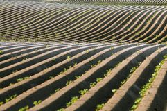 Lignes droites de pomme de terre de saleté avec des vagues Photos stock