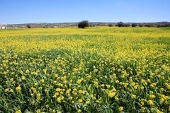 Lignes et lignes des fleurs de moutarde Photo stock