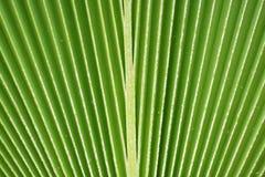 Lignes et texture de palmette verte Image libre de droits