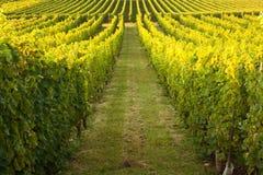 Lignes sans fin dans une vigne photo stock
