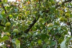 Ligni di pomum di melo con le mele mature che appendono sulla vista di angolo basso dell'albero in autunno Immagini Stock Libere da Diritti