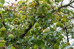 Ligni pomum δέντρων της Apple με τα ώριμα μήλα που κρεμούν στη χαμηλή άποψη γωνίας δέντρων το φθινόπωρο Στοκ εικόνα με δικαίωμα ελεύθερης χρήσης