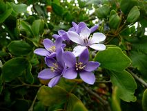 Lignum vitae flowers. Beautiful flowers of lignum vitae tree, by Canon lens Stock Images