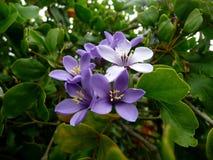 Lignum vitae flowers stock images