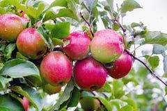Ligol jabłoni gałąź z jabłkami po deszczu Obraz Stock
