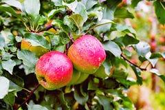 Ligol jabłoni gałąź z jabłkami po deszczu Obrazy Royalty Free