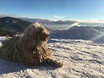 Ligt de Komondor Hongaarse herder Zonnige dag in de sneeuw in de bergen stock foto
