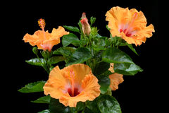 Ligth apelsinhibiskus Arkivbilder