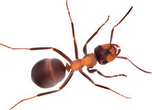 Ligth brown single ant  on white Royalty Free Stock Photos