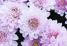 Light Purple or Violet Mum Flowers Royalty Free Stock Photo