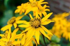 Ligularia amarillo Dentata Orthello de la flor Foto de archivo libre de regalías