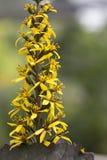 Ligularia - Britt Marie Crawford fotografía de archivo libre de regalías