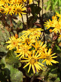 Ligularia dentata in the garden. Inflorescence. Stock Image