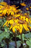 Ligularia dentata Othello Stock Photo