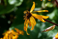 Ligularia Flower in Autumn Royalty Free Stock Photos