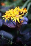 Ligularia 'Marie Crawford' - Luipaardinstallatie Royalty-vrije Stock Afbeeldingen