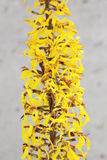 Ligularia przewalskii plant with yellow flowers on a background of gray concrete pillar. Royalty Free Stock Images