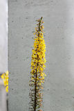 Ligularia przewalskii plant with yellow flowers on a background of gray concrete pillar. Stock Photography