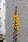 Ligularia przewalskii plant with yellow flowers on a background of gray concrete pillar. Royalty Free Stock Photography