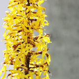 Ligularia przewalskii plant with yellow flowers on a background of gray concrete pillar. Royalty Free Stock Image