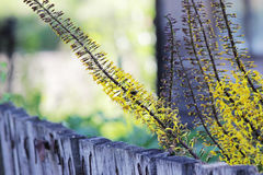 Ligularia przewalskii plant with yellow flowers on a background of gray concrete pillar. Royalty Free Stock Photo