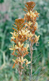Ligularia yellow flower Royalty Free Stock Photography