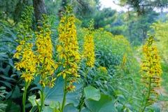 Ligulariabloemen royalty-vrije stock afbeeldingen